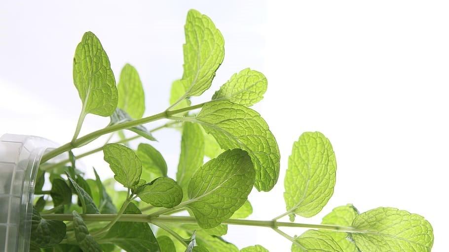plantes verte médecine douce citrulline